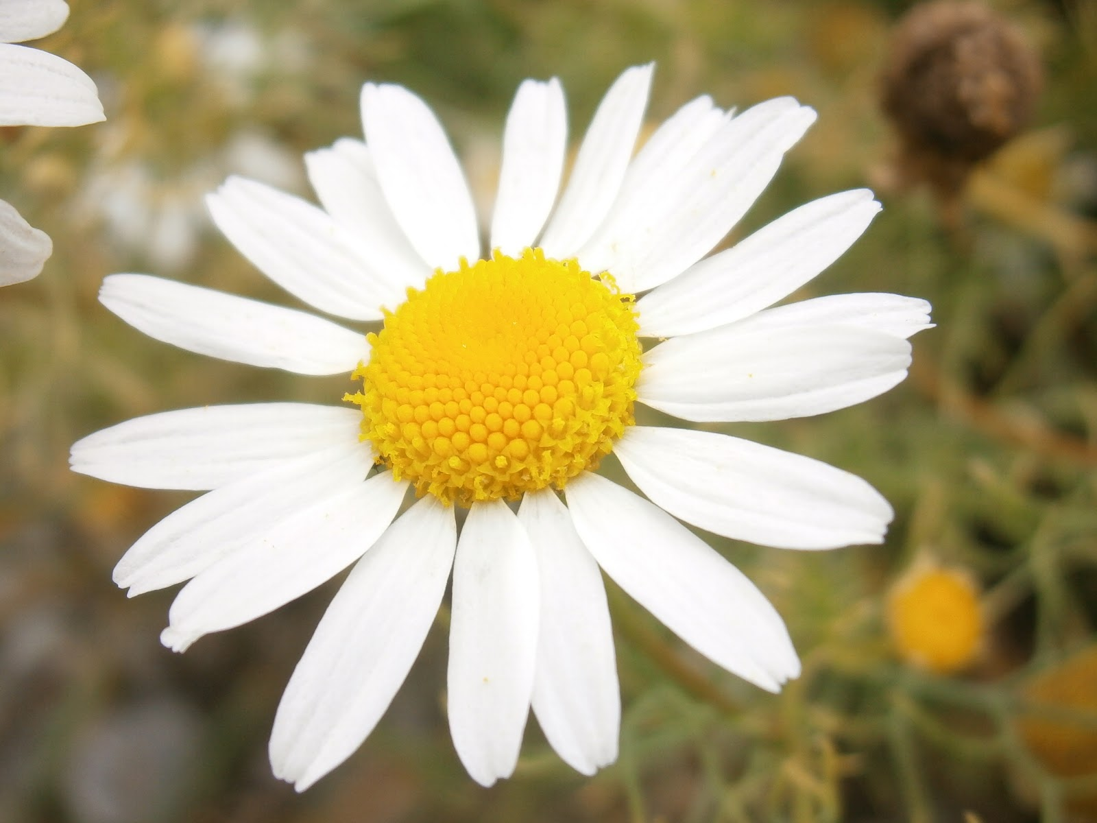 fleur_flower_photo_hd_marguerite_sauvage_jardin_plante_i